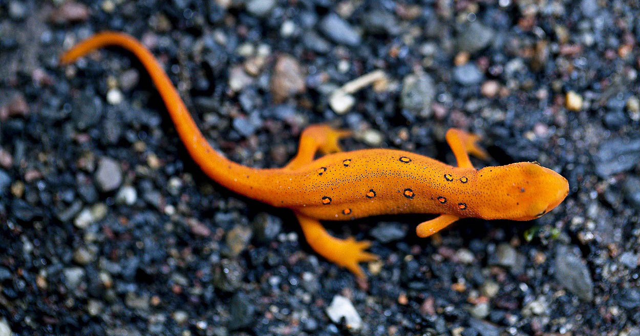 Little red spotted newt